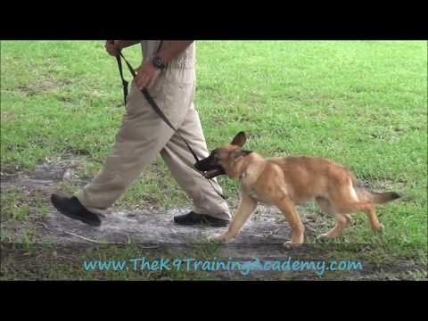 Draco - Basic Obedience - The K9 Training Academy