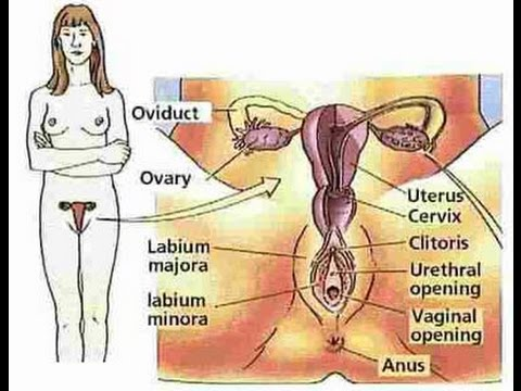 Diagram of the female sex organs