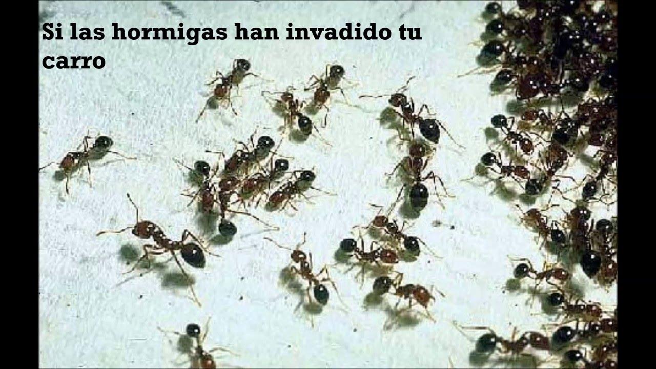Cómo eliminar hormigas dentro del carro - YouTube