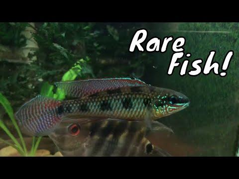 Amazing Collection Of Rare Beautiful Fish! All Oddball Aquatics Regina Spotti's Fish Room Tour!