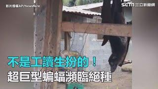 不是工讀生扮的!超巨型蝙蝠瀕臨絕種|三立新聞網SETN.com