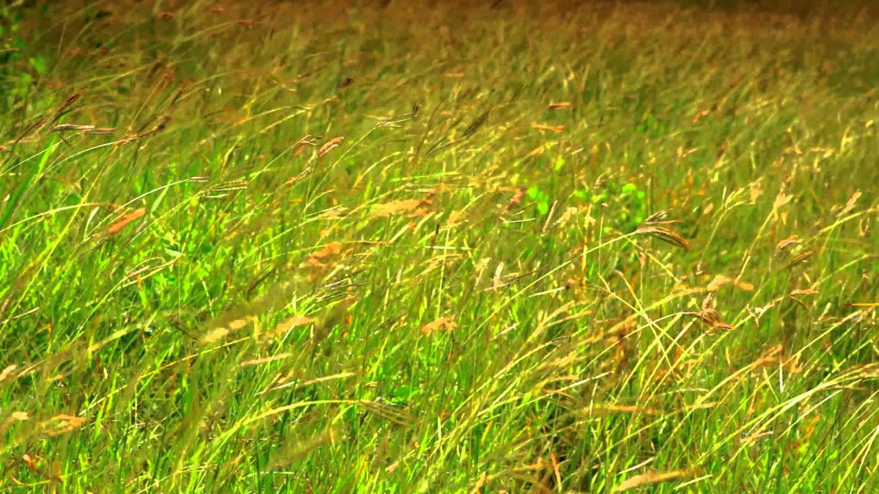 Tall grass blowing in the wind on an African Savannah stock video ...