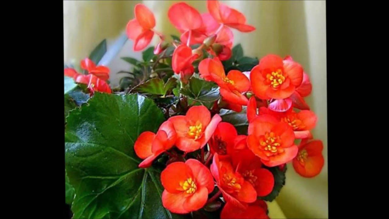Уход за цветами бегония фото