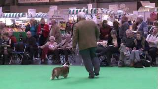 Dfs Crufts 2011 - Best Of Breed Welsh Corgi (cardigan)