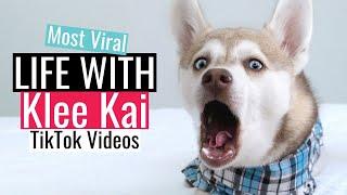Life With Klee Kai   Most Viral TikTok Dog Videos   Mini Huskies