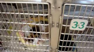 10-14-07 Female Rottweiler Urgent Rescue