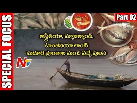 Pulasa Fish | Godavari Special Costly Fish | Special Focus | Part 2 | NTV