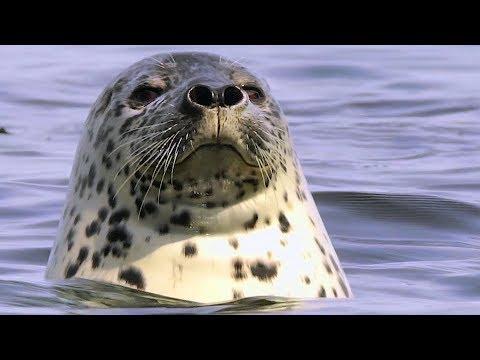 Они умеют отдыхать! Ларга, или пёстрая нерпа, или пятнистый тюлень. | Film Studio Aves