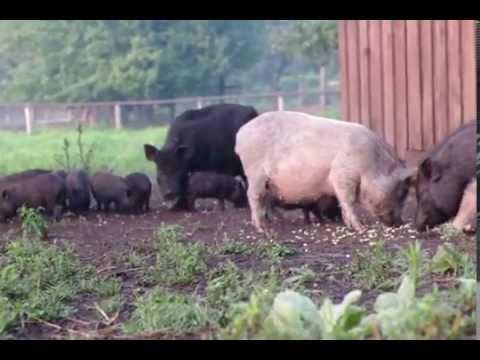 Самые большие свиньи в мире фото