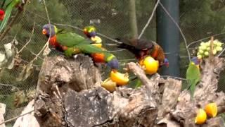 Dans une immense volière nourrissage de petite et grande perruche   parc pairi daiza (Belgique). thumbnail