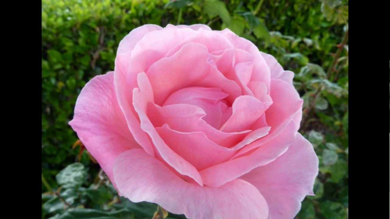 Baby Pink Rose - YouTube