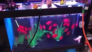 龍魚炸鱗原因~PH衝擊和溫差振盪