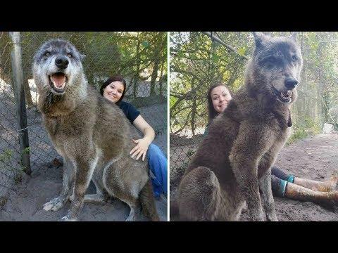 Приют спас этого огромного волкособа, а затем ДНК-тест показал почему он такой большой
