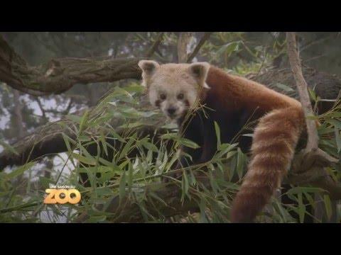 Une Saison Au Zoo - Panda roux, singes et lion blanc (S4 Ep13)