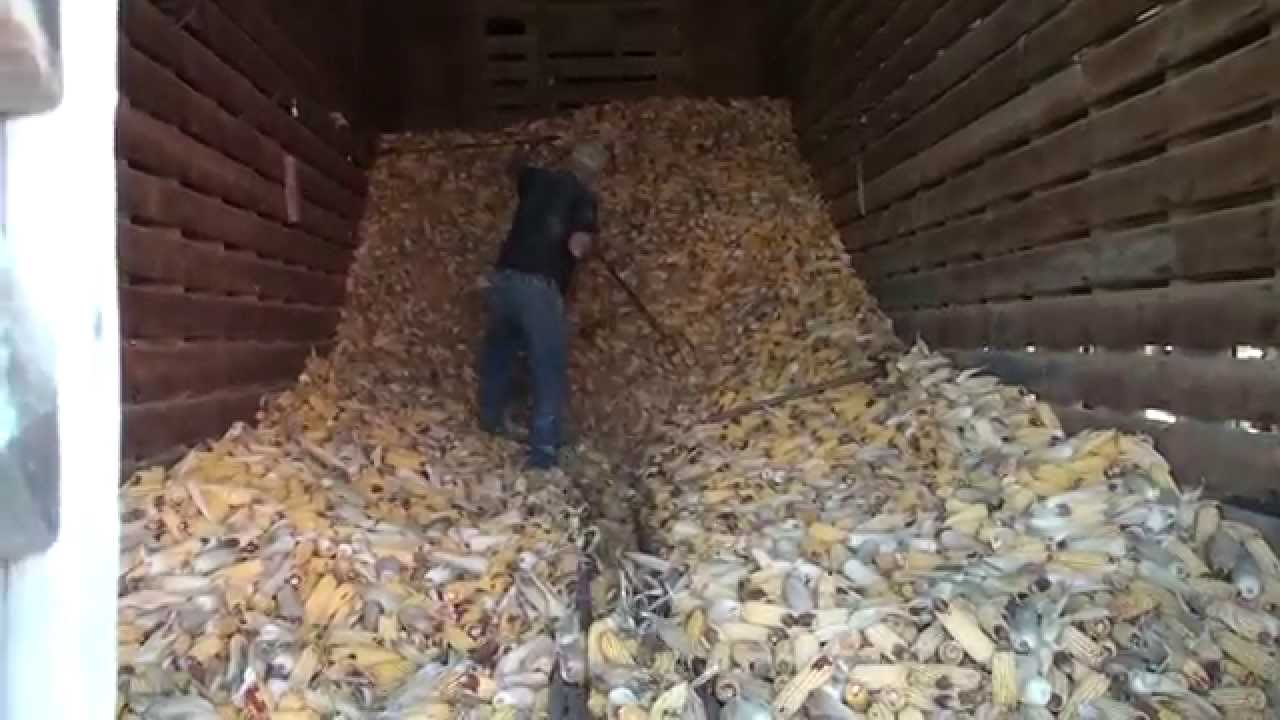 Conveying Corn Out of Corn Crib - YouTube