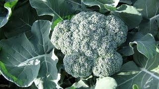 Growing Beautiful Broccoli in your garden