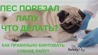 Собака порезала лапу, что делать? Как бинтовать собаке лапу правильно?