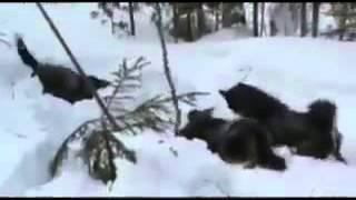 Охота на медведя поднятие берлоги