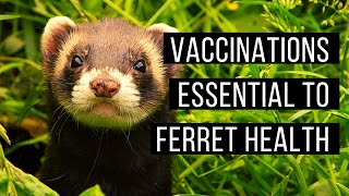 Vaccinations essential to ferret health