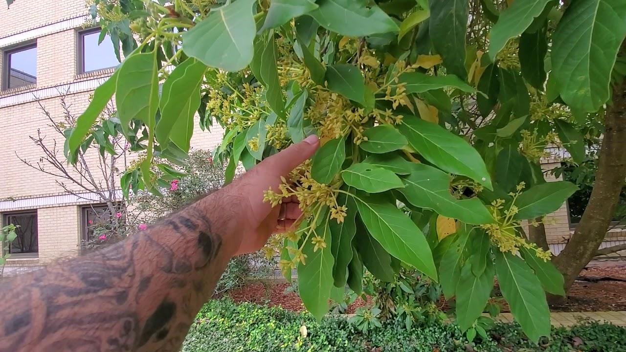 Avocado Tree San Antonio Tyres2c
