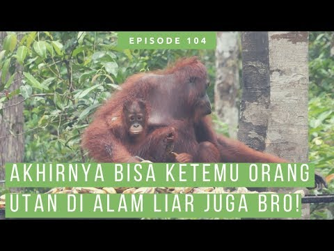 Kehidupan Orang Utan, Bekantan, Tarsius Dan Satwa Lain Di Taman Nasional Tanjung Puting