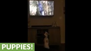 Dog fascinated by canine in video game