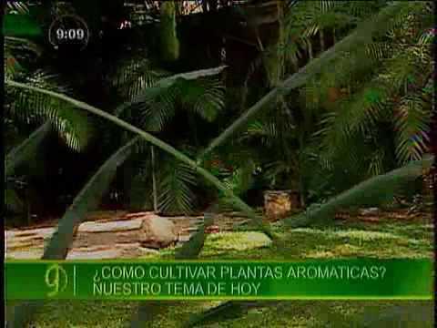 Cultivo de plantas arom ticas doovi - Plantar plantas aromaticas ...