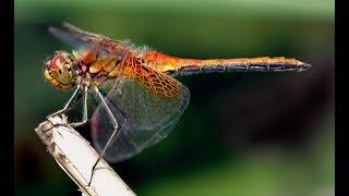 Самое большое насекомое Стрекоза Грифон очень интересное видео на 100%