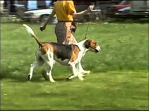 Foxhound Overview - AKC Dog Breed Series