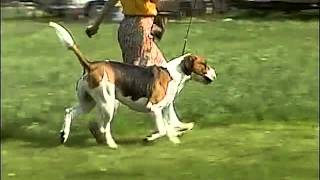 English Foxhound https://www.youtube.com/watch?v=y56iGAvLzXU Americ...