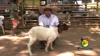 ECLOSIÓN 2011  OVEJAS DORPER  Y CABRAS BOER - HDA LA CAROLINA VALLEDUPAR CESAR COLOMBIA