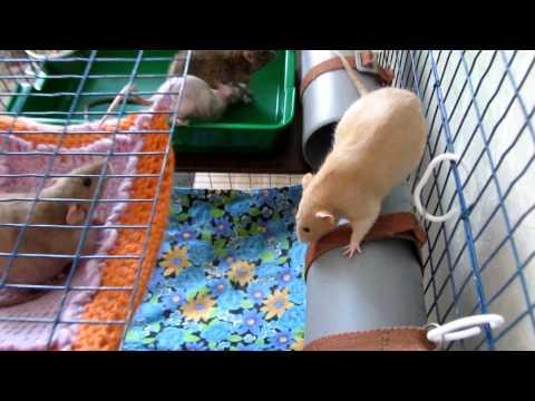 Свободу крысам!
