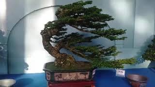 Những cây Bạt phong  đỉnh cao nghệ thuật của làng cây việt, thủy chiến channe