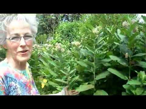 Milkweed Update - Wisconsin Garden Video Blog 162.avi
