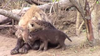 Mother Hyenas at the densite