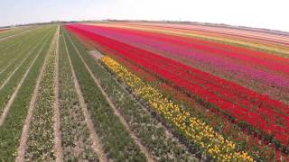 Stunning Aerial Video of Dutch Tulip Fields - Tulips Fields in Holland
