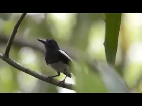 Than mái hót kích trống Oriental Magpie Robin Female