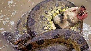 Giant Anaconda vs Wild Dog Fight - Wild Animals Attack