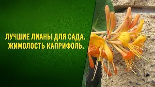 Лучшие лианы для сада  Жимолость каприфоль