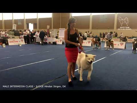EURO DOG SHOW 2019 | MALE INTERMEDIA AKITA EDS | WELS, AUSTRIA | EDS 2019
