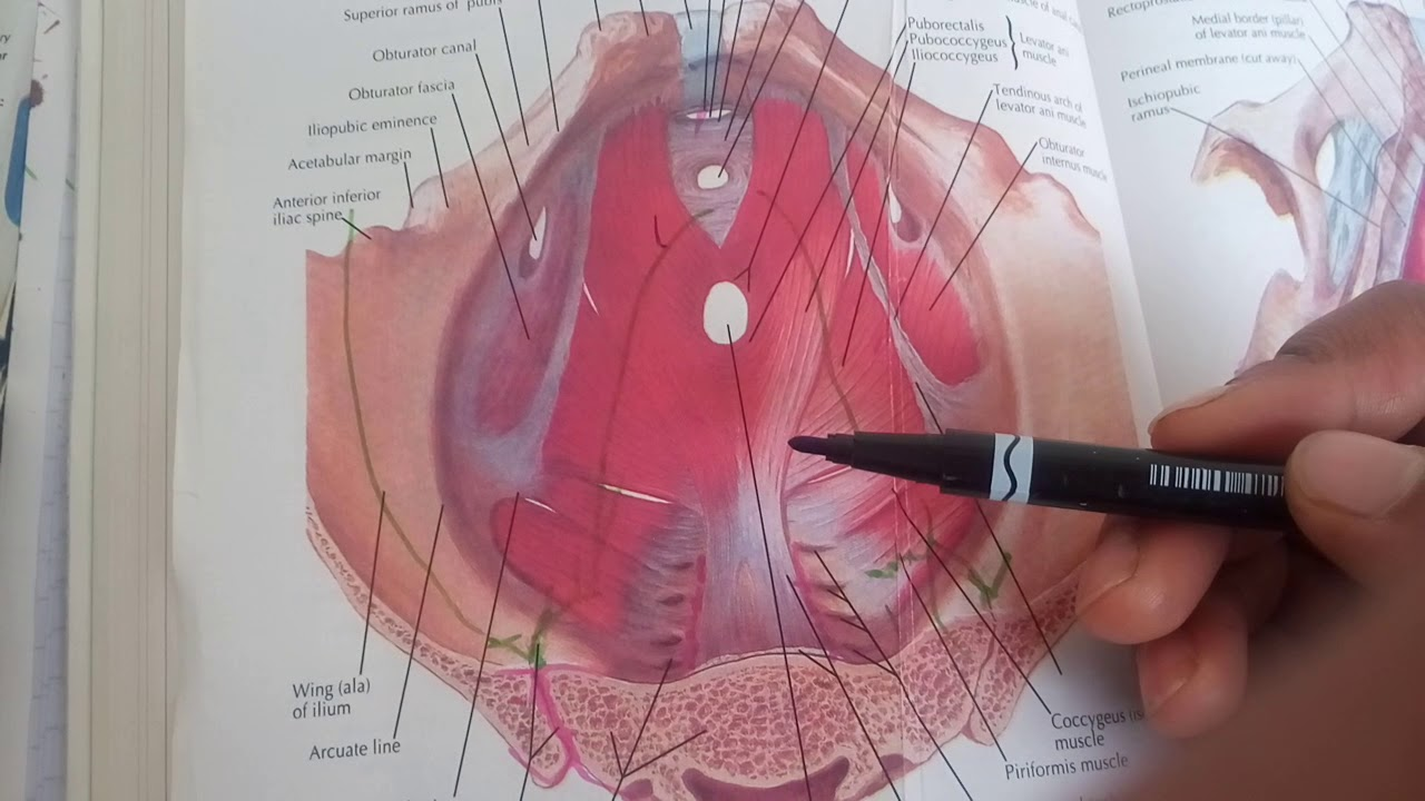 Pelvic fascia complete explanation in easy waynot written in bd part pelvic fascia complete explanation in easy waynot written in bd part 1 publicscrutiny Images