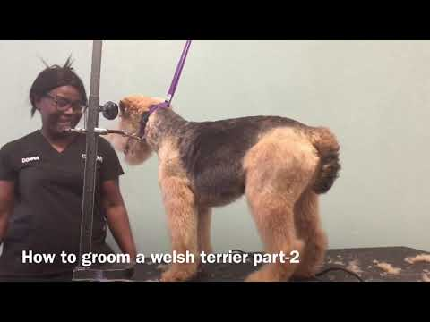 How to groom a Welsh Terrier part-2
