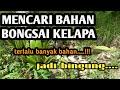 - Berburu bahan bonsai kelapa di alam liar