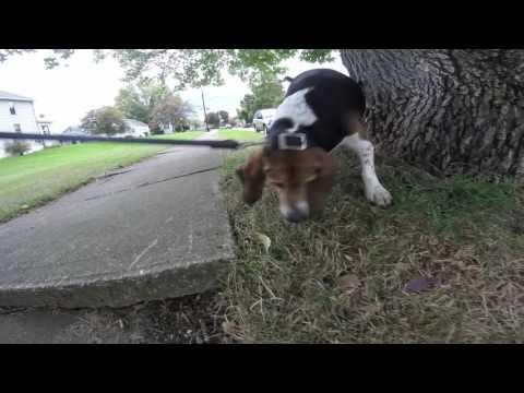 Dog walk with beagle/basset mix = noisy.