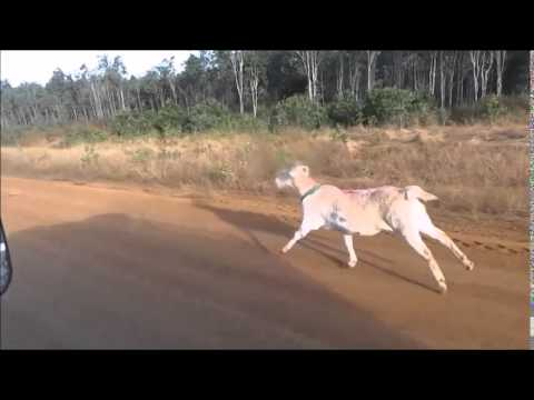 Gary the goat goes to boot camp on the way to Bamaga.