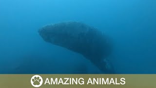 Huge Whale Appears From Ocean's Abyss