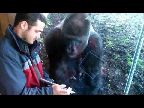 Louisville Zoo Gorilla Likes Ipad
