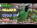 Pasti Nyaut  Bikin Cucak Ijo Lain Ngamuk Ikut Bunyi  Mp3 - Mp4 Download