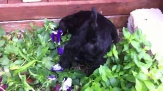 Coco Schnauzer Destroying The Flower Garden