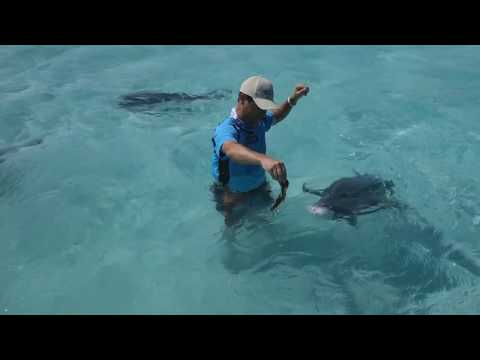 Hand Feeding Monster 100lb Giant Trevally GTs In The Cook Islands - IFISH